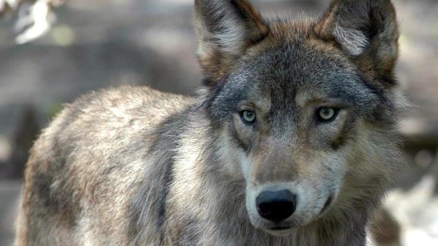 Photo d'un loup sauvage