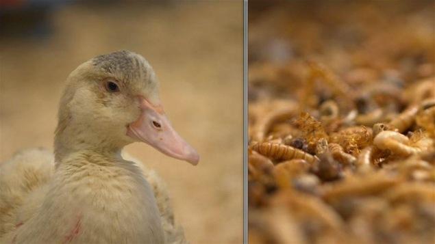 Un canard biologique qui se nourrit de vers de farine.