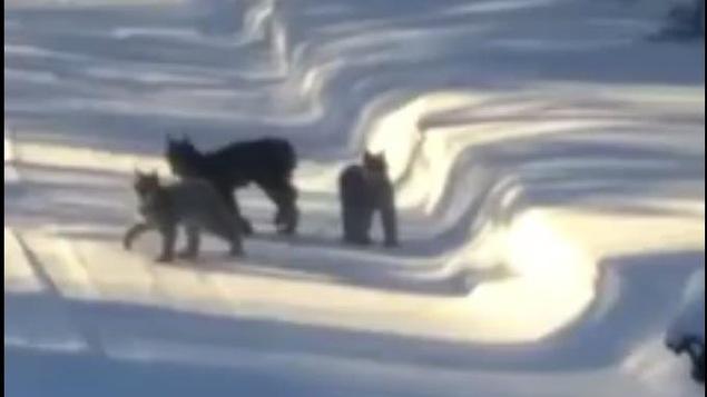 Vicky St-Laurent, de Rouyn-Noranda, a filmé ces lynx dans sa cour