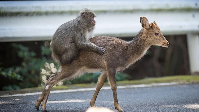 Photo du macaque sur le dos d'une biche