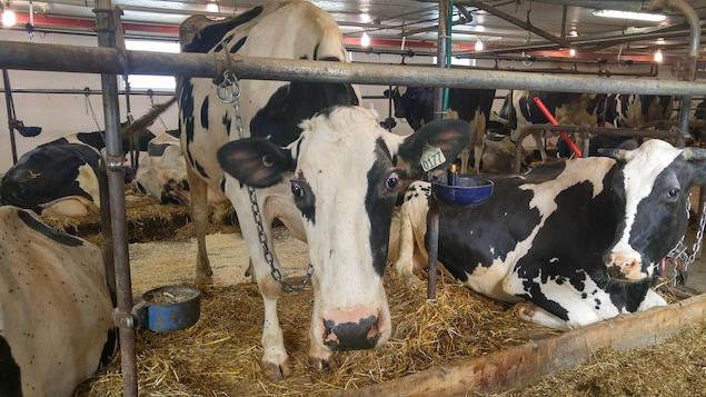 Des vaches dans une étable