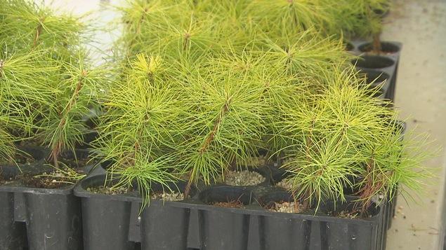 Des plants d'arbres dans de petits contenants.