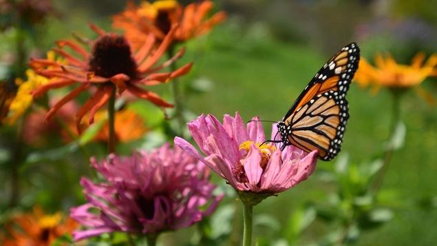 Les papillons monarques reviennent en force ottawa ici radio - Images de papillon ...