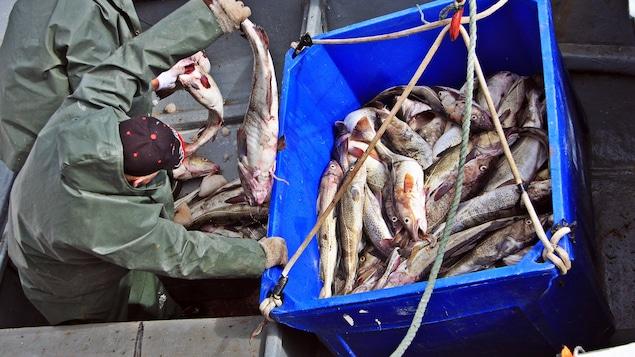 Des pêcheurs amassent des morues pêchées dans leur bateau.