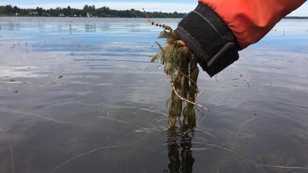 Au lac à la Tortue, par endroits, il suffit de plonger sa main dans l'eau pour arracher des boutures de myriophylle à épi.
