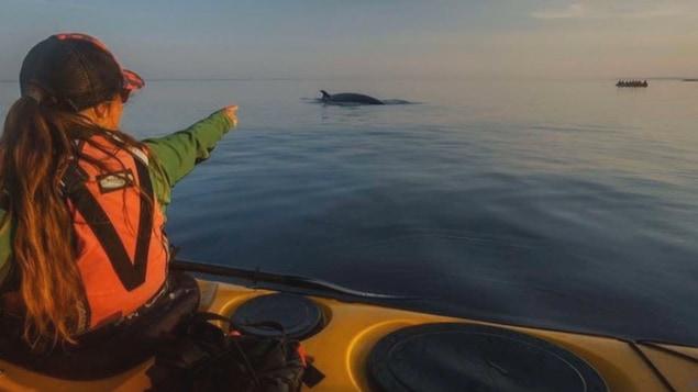 Observation de baleines sur le fleuve Saint-Laurent.