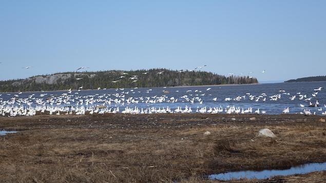 Des oies en bordure du fleuve