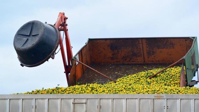 L'État de la Floride est un des principaux producteurs d'oranges dans le monde.