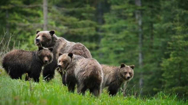 Une ourse et ses trois oursons.