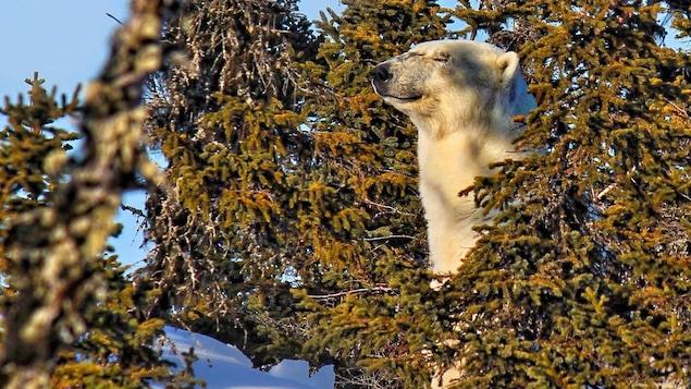 Un ours polaire a été aperçu sur une île à proximité du village de Saint-Augustin et de la communauté innue de Pakuashipi, en Basse-Côte-Nord.