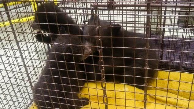 Image des trois oursons dans une cage