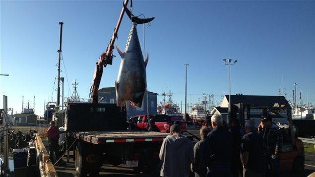 Un thon rouge est débarqué au quai de Shippagan.