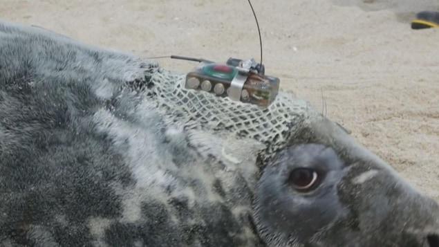 De petits émetteurs sont fixés sur le dos des phoques.