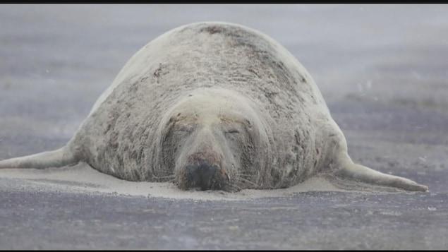 Un phoque gris de l'Île de Sable
