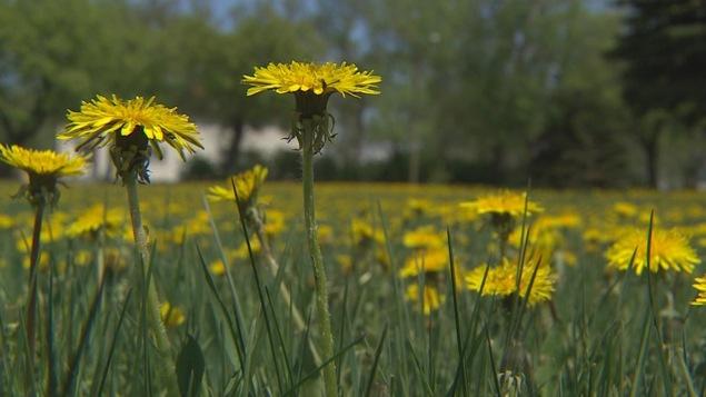 Des pissenlits sur un terrain vert.