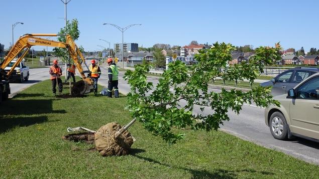 Des arbres sont plantés le long du boulevard René-Lepage, à Rimouski.
