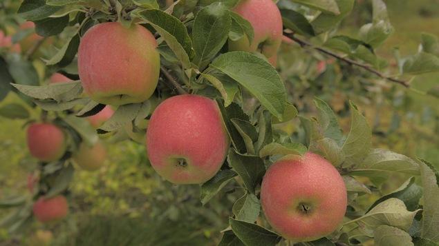 Les pommes de l'Ontario feront leur entrée sur les tablettes des épiciers et dans les marchés locaux sous peu, si ce n'est déjà fait. Elles seront toutefois moins nombreuses que la saison dernière.