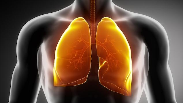 Les poumons jouent un rôle dans la fabrication du sang