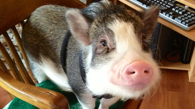 Podgy, le cochon vietnamien d'Emily Sydor