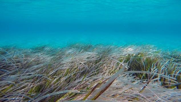 Un herbier marin au fond de la baie de Tampa.