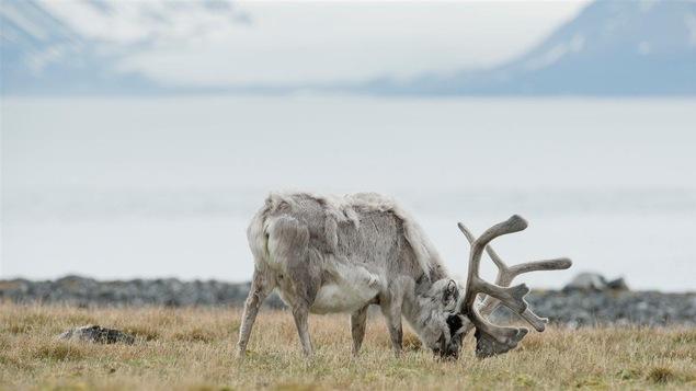 Un renne sur l'archipel de Svalbard, en Norvège