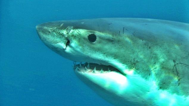 La tête d'un requin blanc