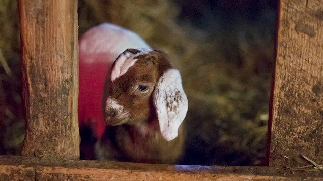 Une petite chèvre dans un enclos.