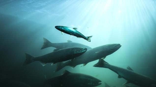 Des saumons nagent dans des eaux bleues traversées de filets de lumière.