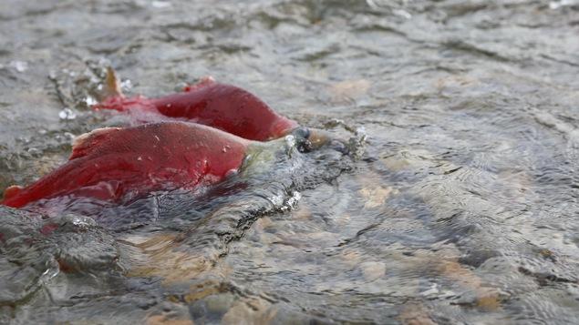 Des saumons sockeye dans la rivière Adams, près du lac Shuswap, dans le sud de l'intérieur de la Colombie-Britannique.