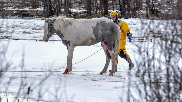 Un cheval sauvé des glaces par un pompier.