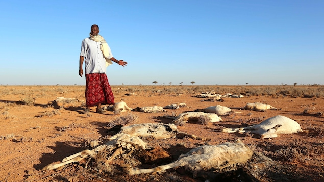 Un homme observe les carcasses de ses chèvres près de la ville de Dahar dans le nord-est de la Somalie en décembre 2016