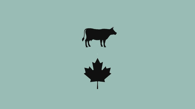 image vache au canada, production de lait