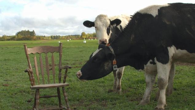 Vaches dans le champ devant une chaise vide