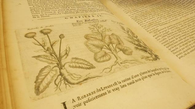 Livre ancien aux pages jaunies avec un dessin de plans de rubarbes.