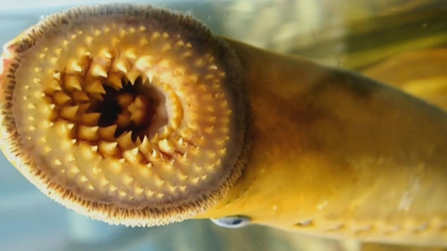 Gueule d'une lamproie marine avec plusieurs rangées de dents et une langue fourchue.