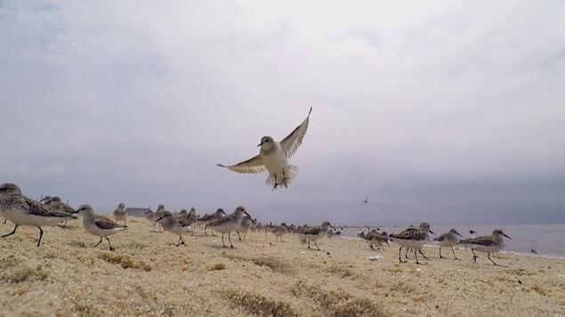 Oiseaux migrateurs sur une plage dans la baie du Delaware.