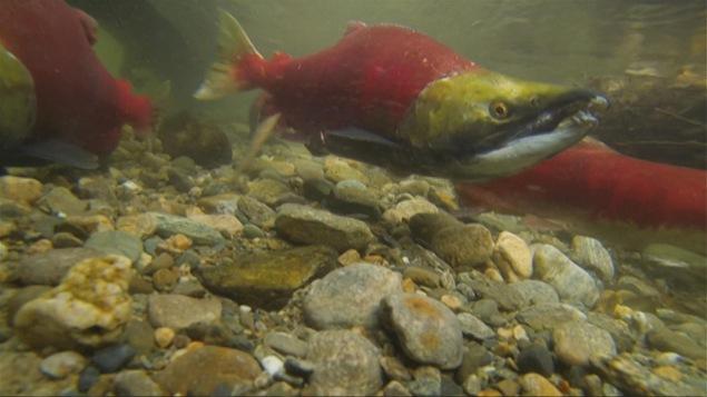 Le saumon sockeye passe la majeure partie de sa vie en mer et revient vers les eaux douce après 3 ou 4 ans pour se reproduire et mourir.