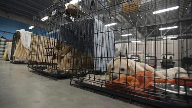 Des chiens attendent dans leur cage, à la SPCA.