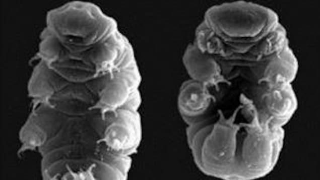 Voici l'un des secrets de l'invincibilité du tardigrade