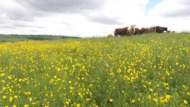 Des bovins dans un pâturage