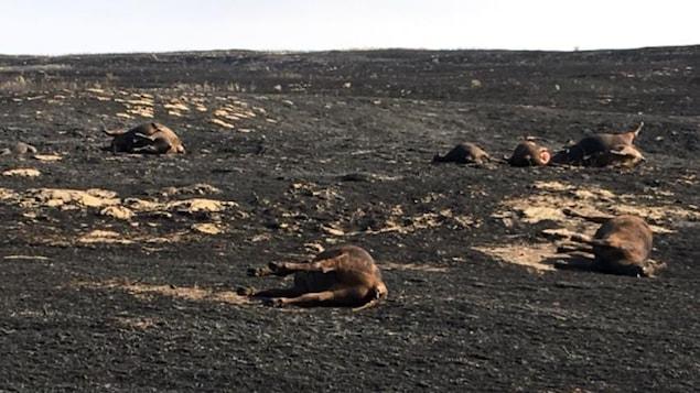 Plus de 100 vaches et des bâtiments de ferme ont été détruits par un feu de broussaille.