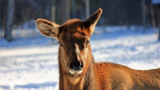 Un wapiti au parc animalier de Chippewa