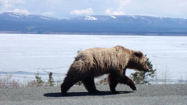 un grizzly marche le long d'un lac glacé