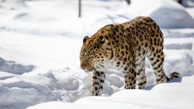 Un félin marche dans la neige au Zoo de Granby
