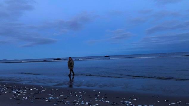 Le capelan qui roule sur les berges des plages de Gallix