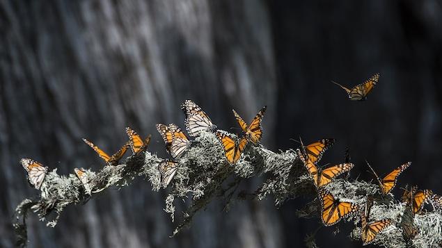 Les monarques migrent vers le sud pour survivre à l'hiver.