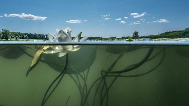 Plan de coupe d'un nénuphar, avec sa partie en surface et sa partie submergée, cette dernière montrant aussi le paysage sous-marin du fleuve Saint-Laurent.