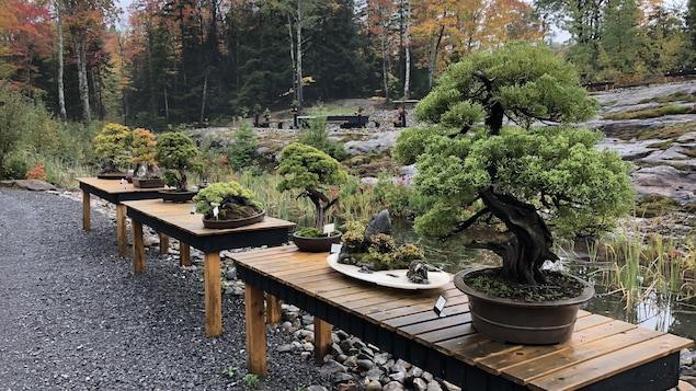 Des bonsaïs disposés sur des tables en bois à l'extérieur, sur fond de paysage d'automne.