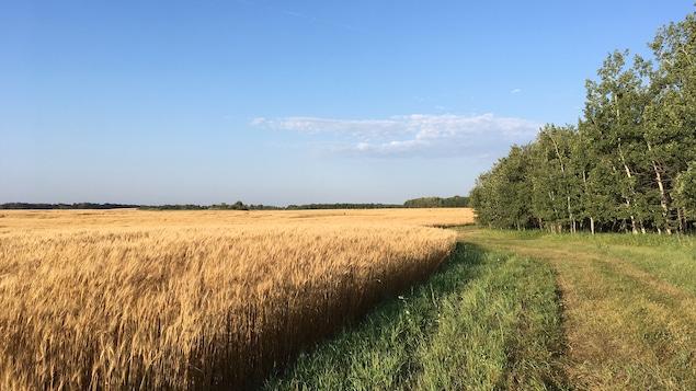 Une vue sur un champ de blé à l'orée d'une forêt en Saskatchewan