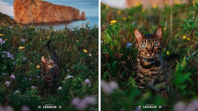 Portrait de chat de la photographe Geneviève LeSieur
